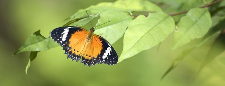 les animaux et spectacles d animaux koh samui les papillons expatriation en thailande. Black Bedroom Furniture Sets. Home Design Ideas