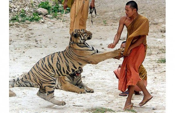 tigres au Wat Pha Luang Ta Bua